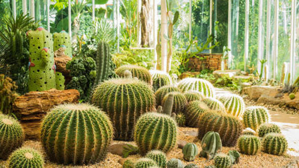How does cactus scale insect eradicate