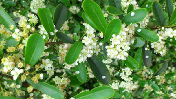 Causes of Aglaia odorata leaf yellowing and solutions