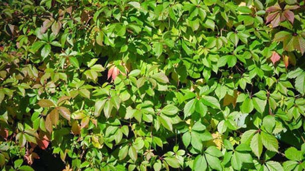 How to grow Parthenocissus quinquefolia