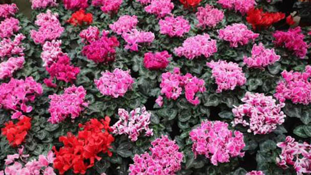 Is Cyclamen persicum Mill suitable for home breeding