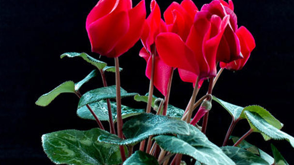Solution for Cyclamen persicum Mill having spiders