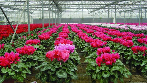 How to maintain Cyclamen persicum Mill bulb in summer