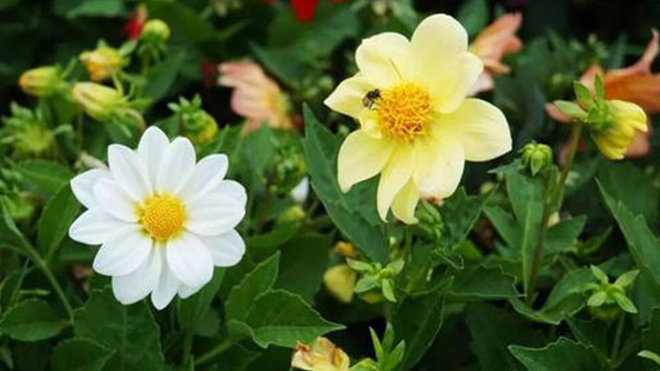 Why the Dahlia pinnate cv buds wither
