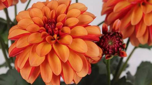How to grow Dahlia pinnate cv seeds
