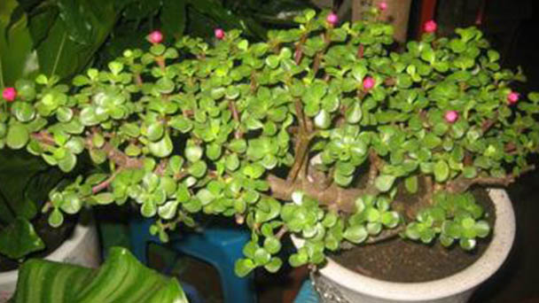 How to grow and care for Portulacaria afra