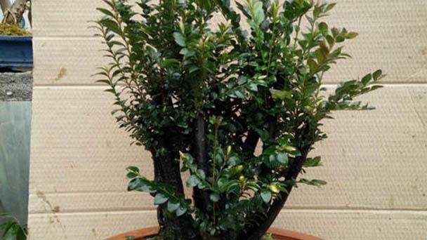 How to grow Pterocarpus santalinus in winter