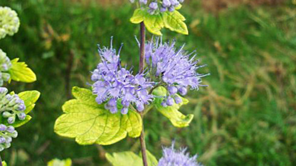 How to grow Caryopteris×clandonensis