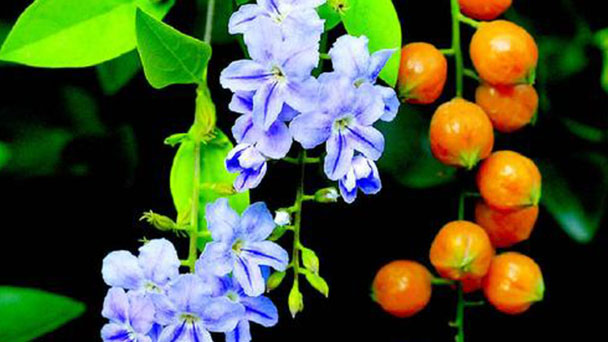 How to grow Duranta Repens L