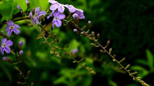 How to grow Duranta Repens L seeds