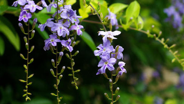 Common plant diseases of Duranta Repens L