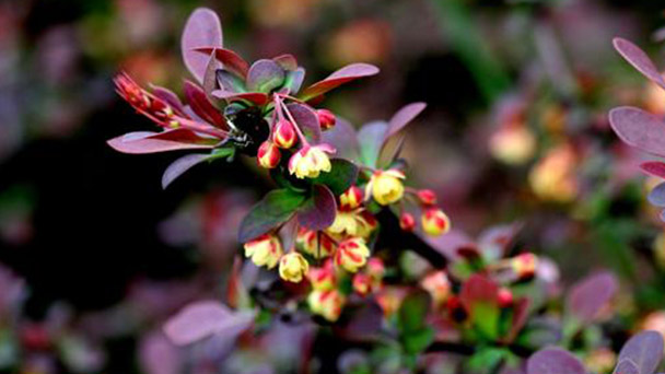 Japanese Barberry profile