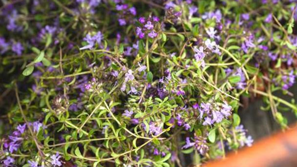 How to grow thyme plants?