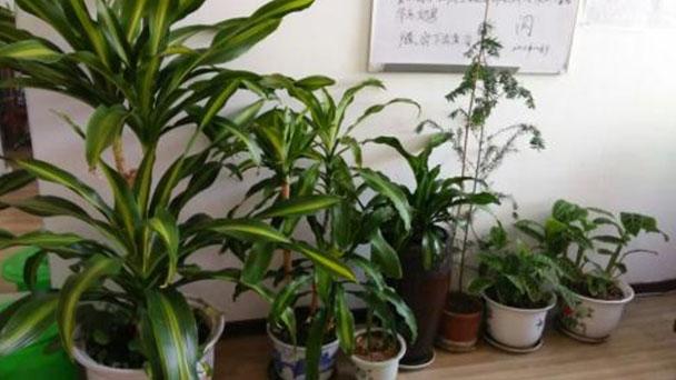 How to grow Dracaena arborea