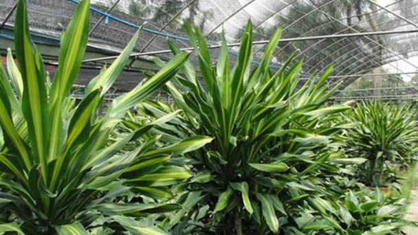 Dracaena Arborea profile