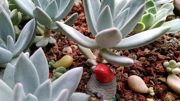 Treatments after Echeveria Simonoasa flower opening