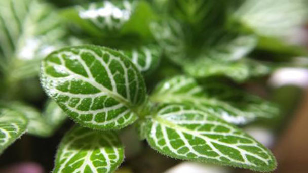 How often is Fittonia Albivenis watered