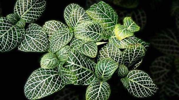 How does Fittonia Albivenis explode the pot