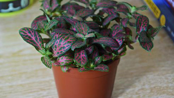 Treatments of Fittonia Albivenis dried leaves
