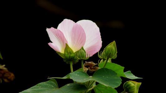 Hibiscus mutabilis profile