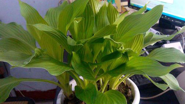 How to grow Philodendron congo