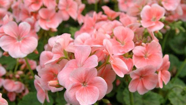How to grow and care for Garden geranium