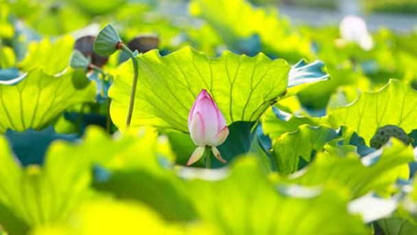 How to grow Sacred Lotus indoors