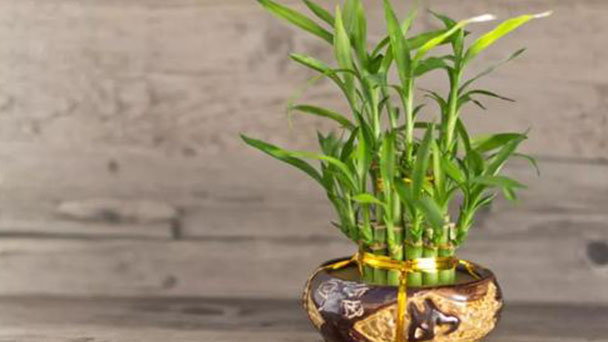 How to care for the Lucky Bamboo