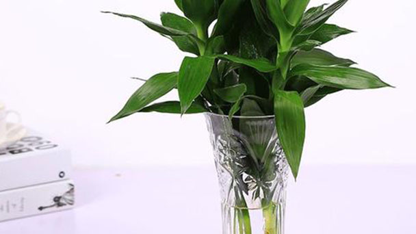How to grow and care Lucky Bamboo