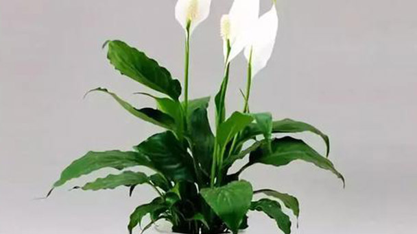 Where to grow Peace Lily indoors