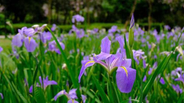 How to propagate Japanese water iris