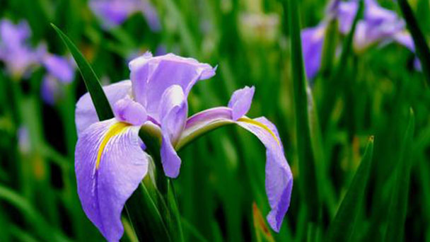 How to care for Japanese water iris
