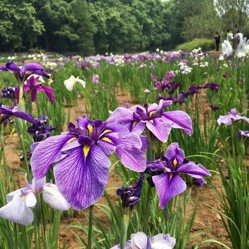 Japanese water Iris