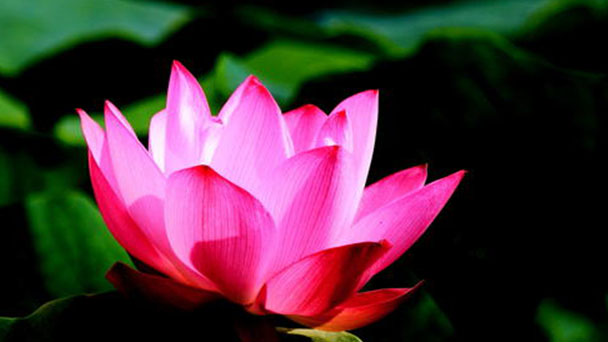 Red water lily profile