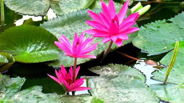 Red Water Lily care tips