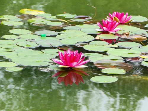 Red Water Lily