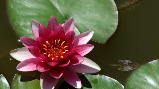 How to propagate Red Water Lily