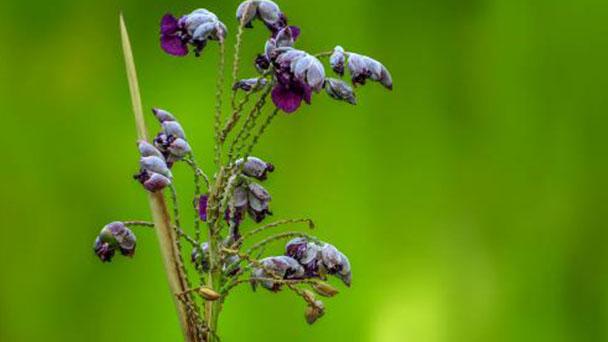 Thalia Dealbata plant care