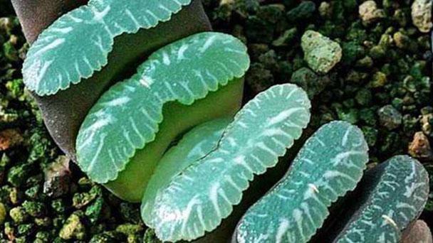 How to grow and care for Haworthia truncata