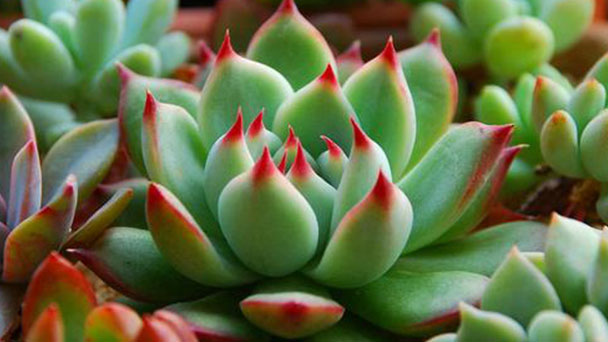How to grow and care for Jelly Bean Plant