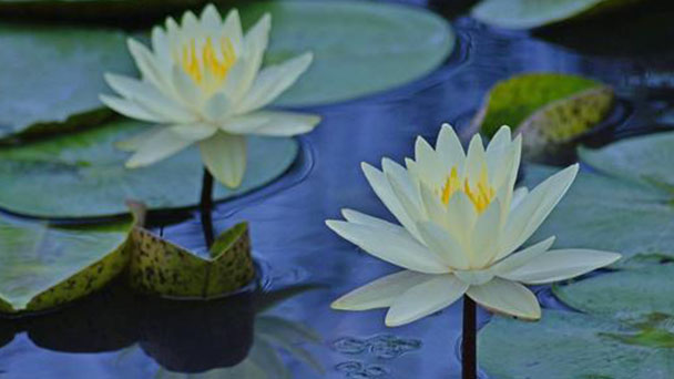 White Water-Lily profile
