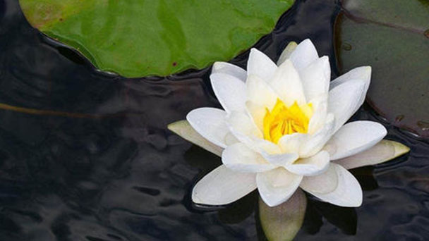 How to grow and propagate White Water-Lily