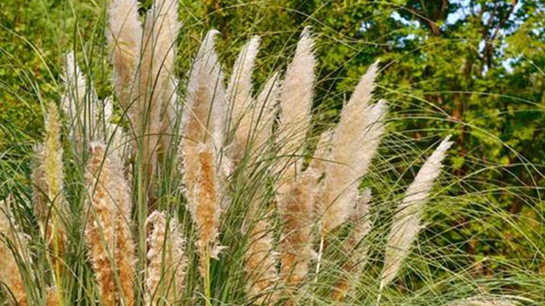 Pampas grass profile