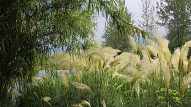 How to grow and care for Pampas grass
