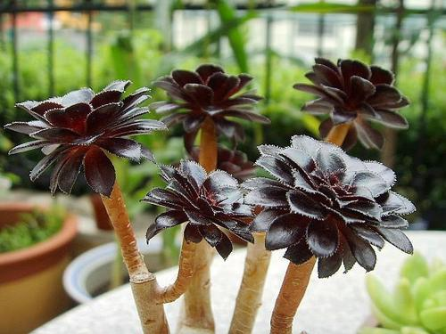 Aeonium arboreum Zwartkop