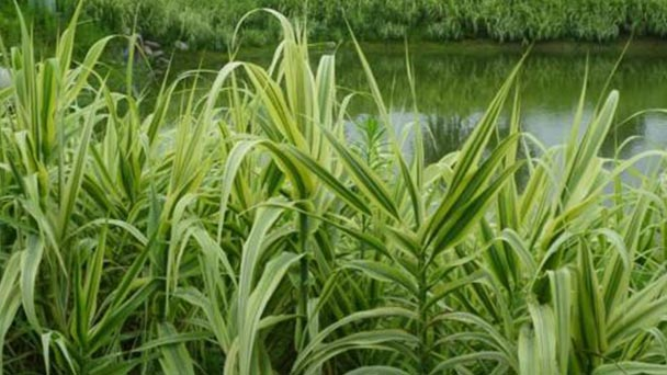 How to grow and care for Giant Reed