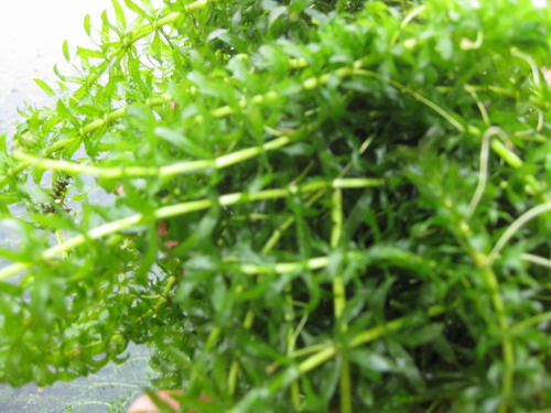 Water-thyme