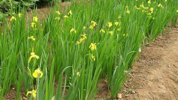 Yellow iris profile
