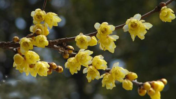 Chimonanthus praecox profile