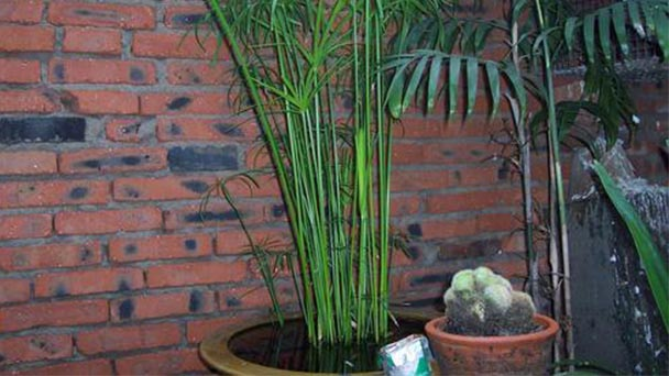How to care for Phyllostachys heteroclada