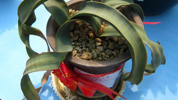 How to care for Welwitschia Mirabilis